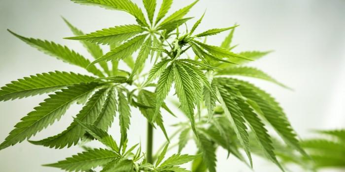 cannabis rewards