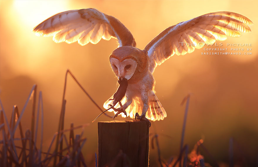 Majestic Owls Caught On Camera By Thai Photographer Sai