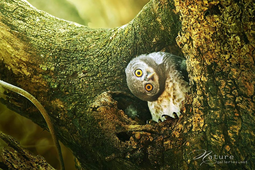 Majestic Owls Caught On Camera By Thai Photographer Sai ...