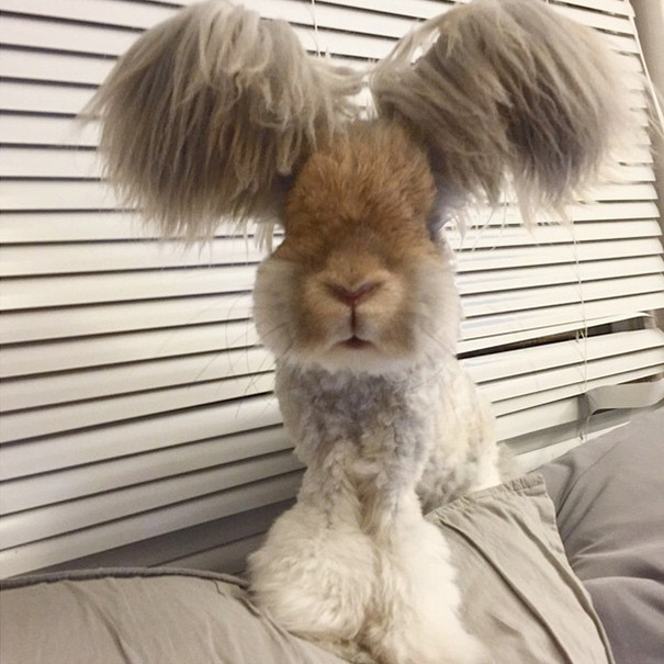 Wally The Famous Angora Rabbit With The Wing Like Ears Is