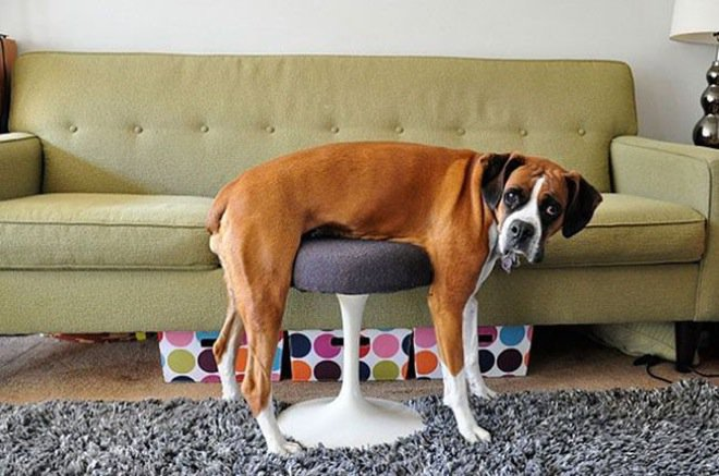 8dogs-sit-wherever-they-fit-27