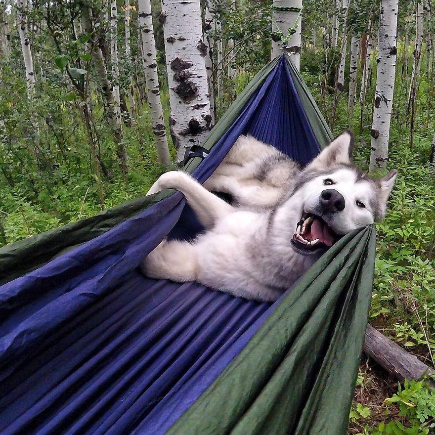 Loki-the-Wolfdog46__880