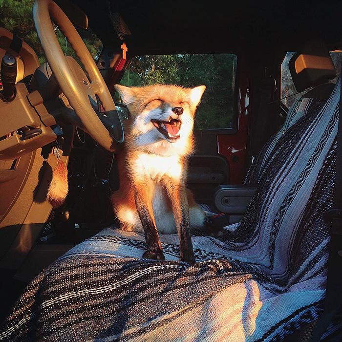 meet juniper the adorable pet fox that cant stop smiling