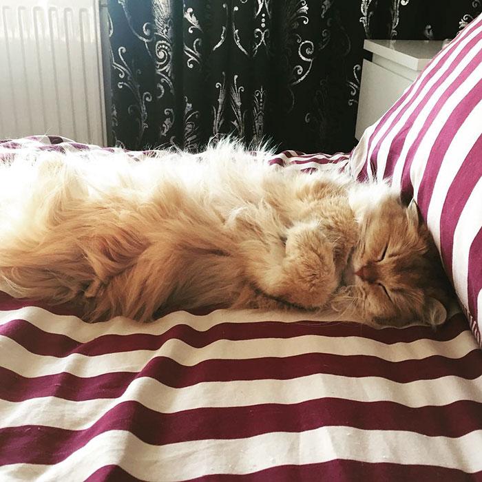 beautiful-fluffy-cat-british-longhair-14