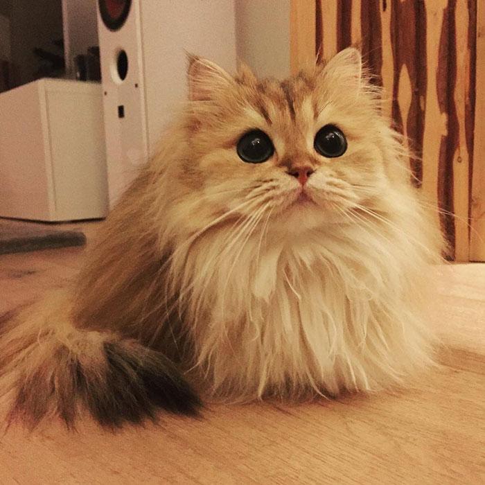 beautiful-fluffy-cat-british-longhair-2