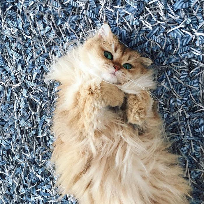 beautiful-fluffy-cat-british-longhair-24