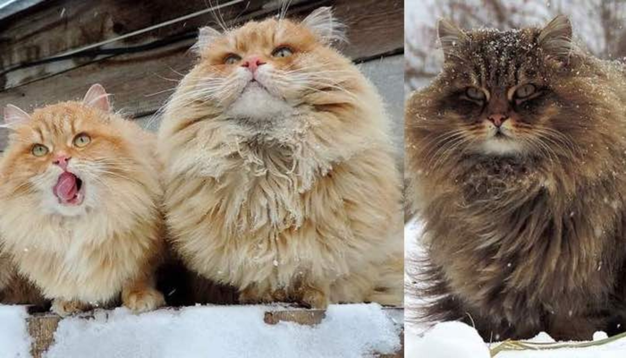 These Majestic Siberian Farm Cats Take Over Their Human S